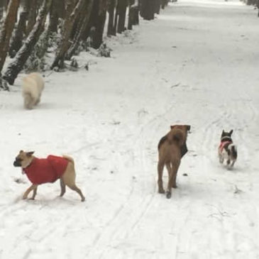 Snowy Bracknell Dog Walking